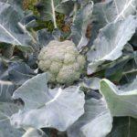 brocolis-ferme du guern